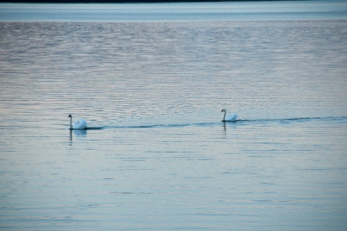 Swans-1